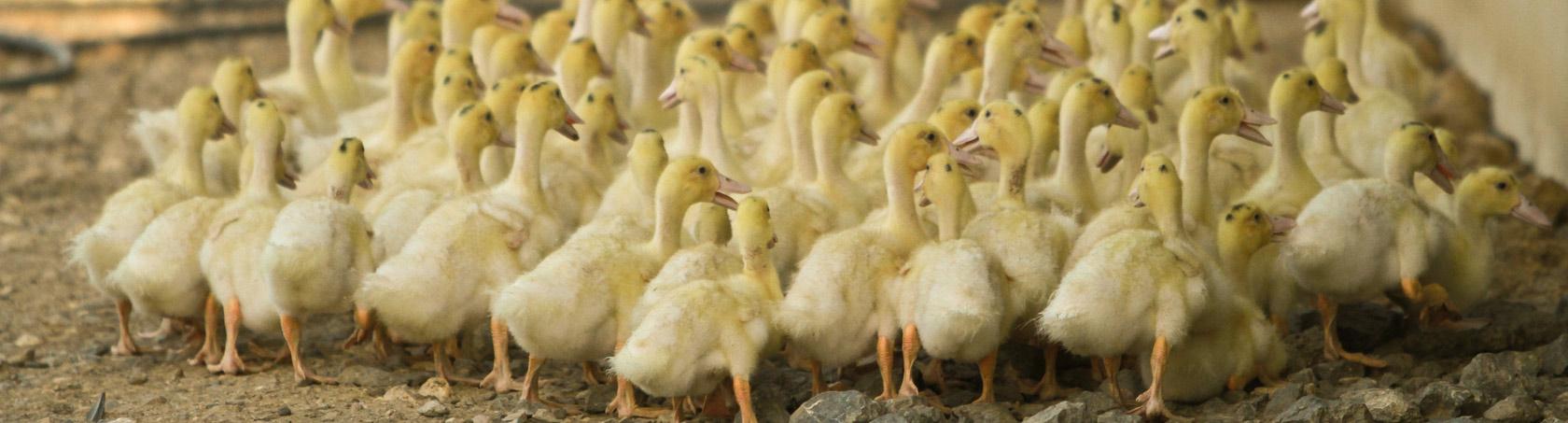 Nos canards sont élevés à la ferme dans le Gers